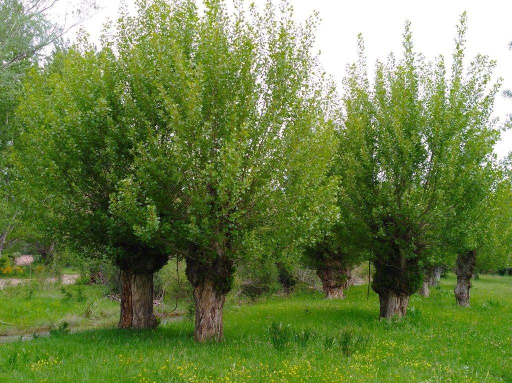 Chopos cabeceros con ramas pequéñas
