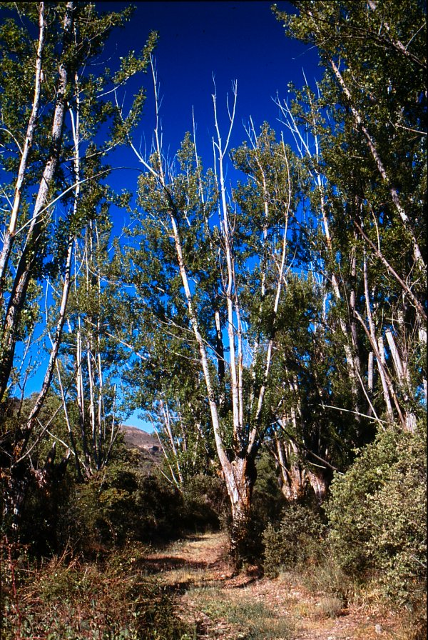 Chopos cabeceros con grandes ramas